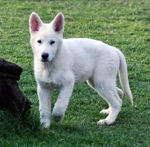 Weißer Schweizer Schäferhund Gregor vom House Savacium