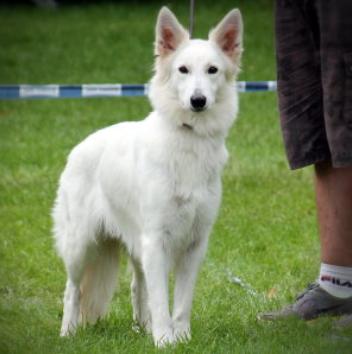 German Dream's Geena Davis Weiße Schweizer Schäferhunde
