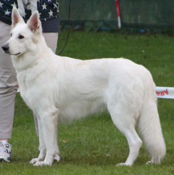 Awall-e vom Krumbacher Forst Weiße Schweizer Schäferhunde