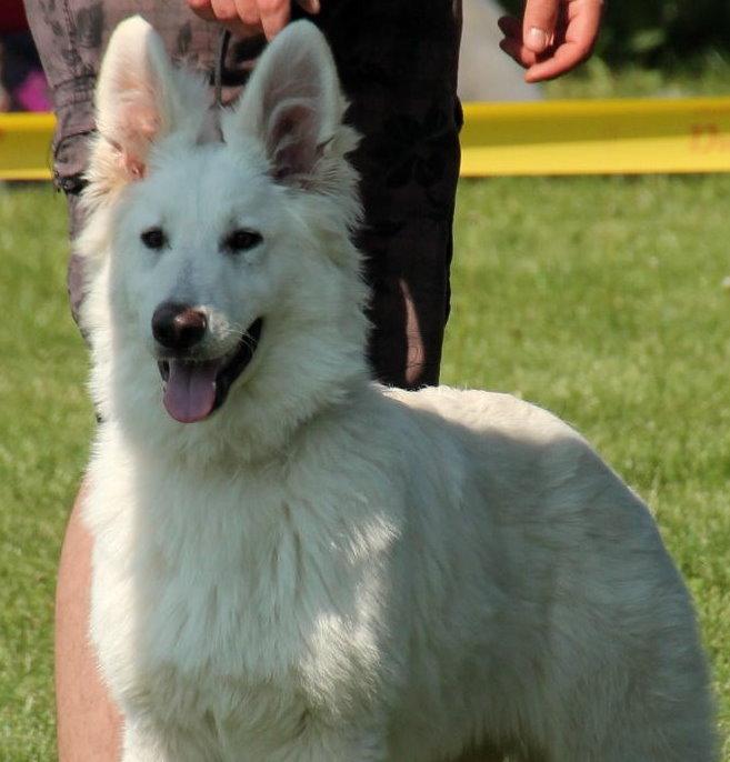 Deamon Zeichen von Wolf - Weiße Schweizer Schäferhunde