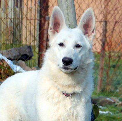 Hexe vom Severihof Weiße Schweizer Schäferhunde